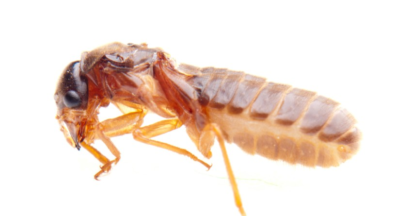 termite_white_ant_insect